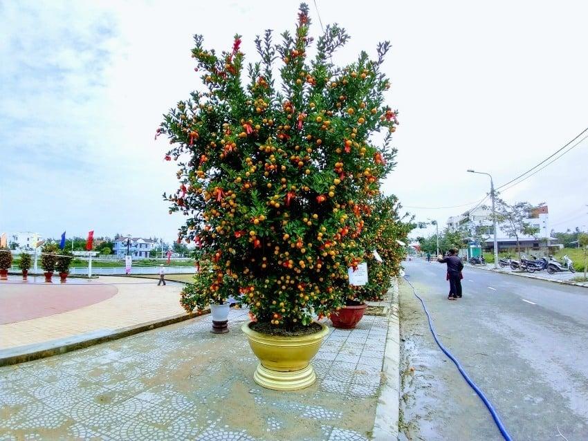 Kumquat tree judging at Hoi An Kumuat festival