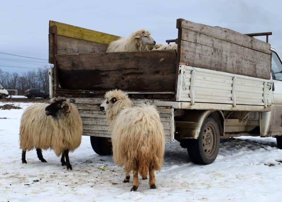Sheep for sale at Ocna Market Maramures Romania