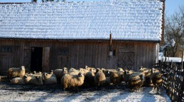Sheep in the village of Breb Romania