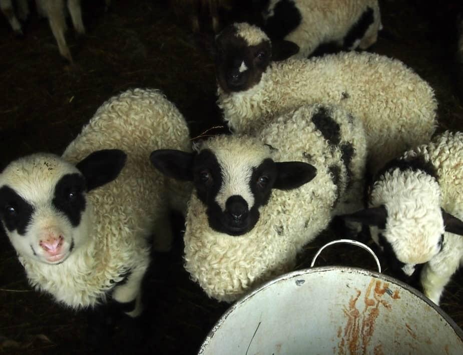 Spring lambs in Romania Breb Maramures