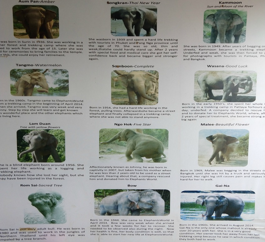 rescue elephants at elephants world kanchanaburi