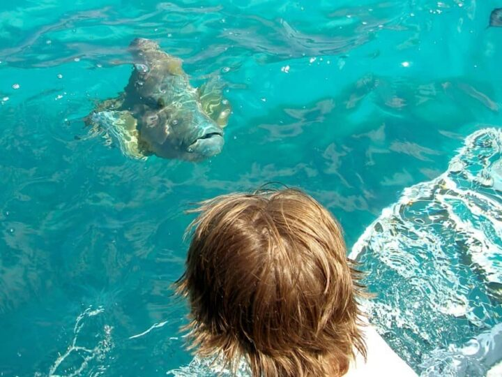 Seeing huge fish on the Great Barrier Reef from Port Douglas. Giant Maori Wrasse