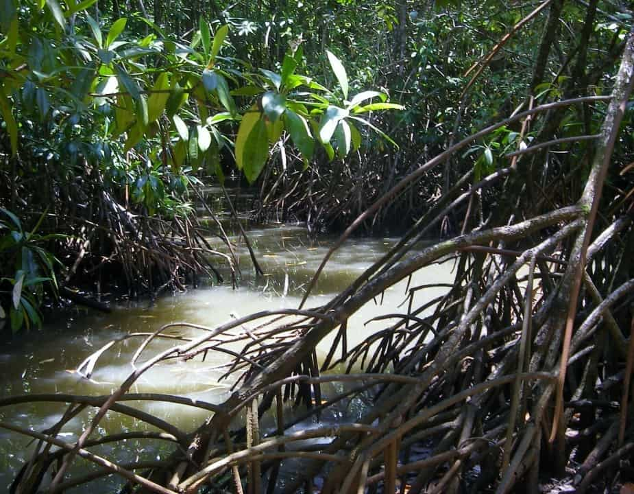 Daintree Rainforest Boardwalks and walks. Mangrove swamps