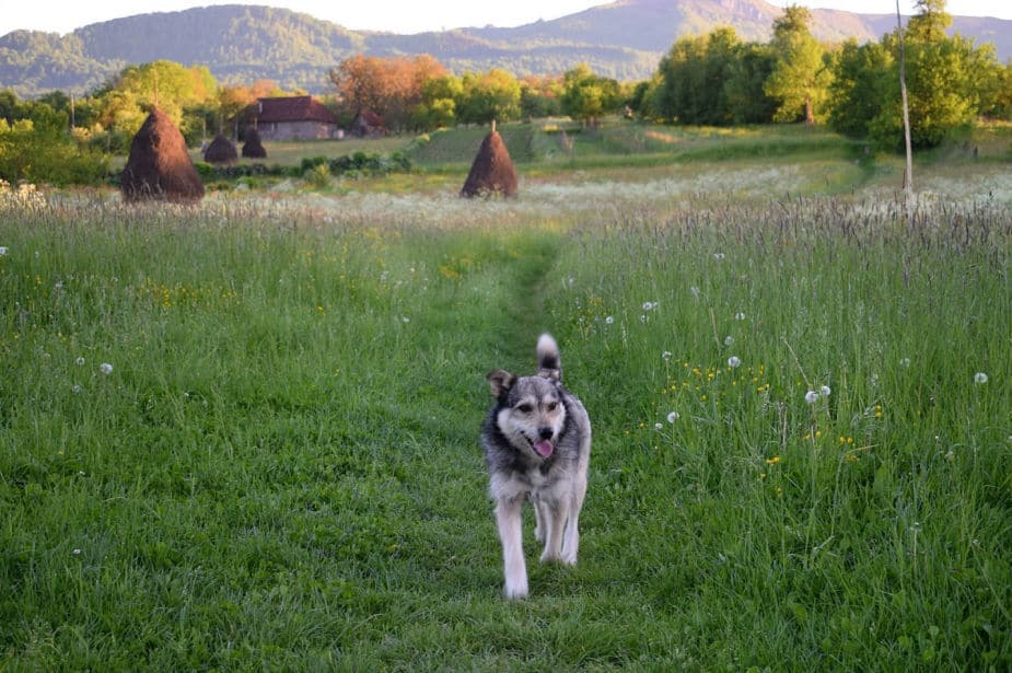 dogs in romania, assume they're not friendly and that there is a rabies risk until you know them well