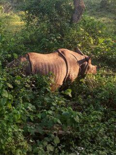 Rhino in Sauraha Chitwan National Park Nepal
