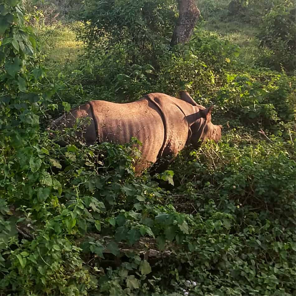 Chitwan National Park Nepal. The Tame Rhino at Sauraha and Safari Fails