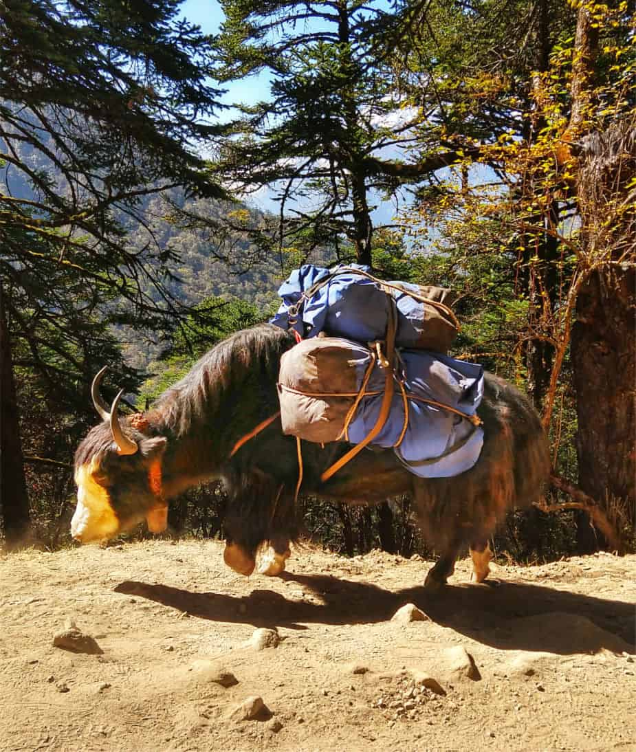 Yak on the Everest Base Camp Trek.. Difficulties and Dangers