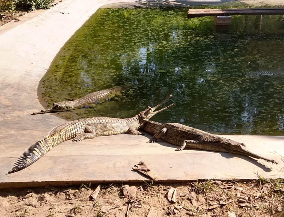 gharial breeding centre chitwan nepal