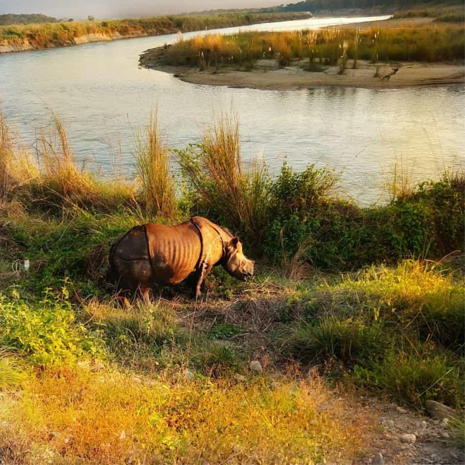 rhino in sauraha