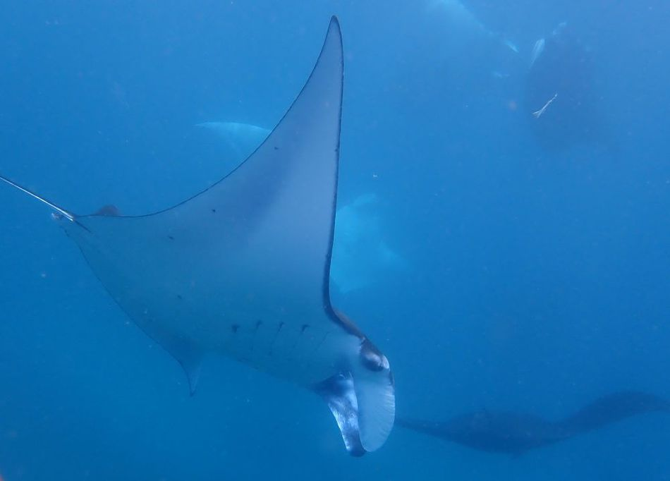 snorkeling with manta rays off bali