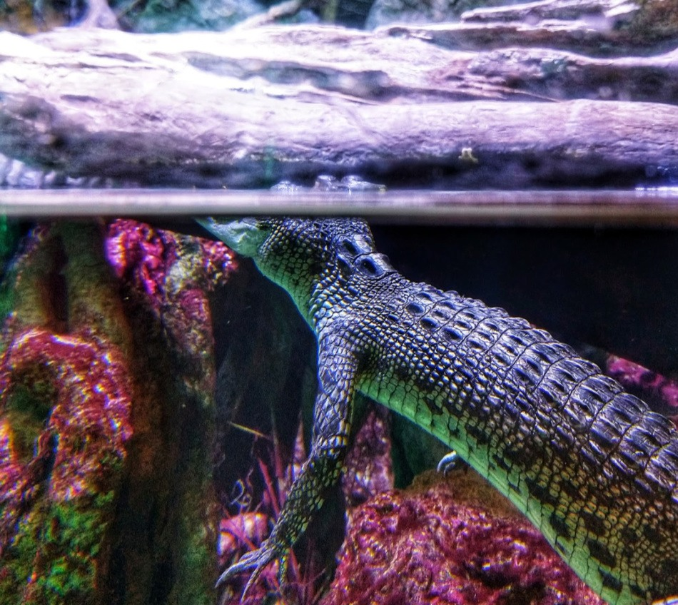 Salt water crocodile at Cairns aquarium