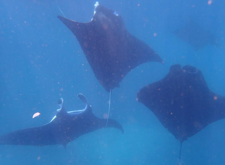 swimming with manta rays off nusa penida