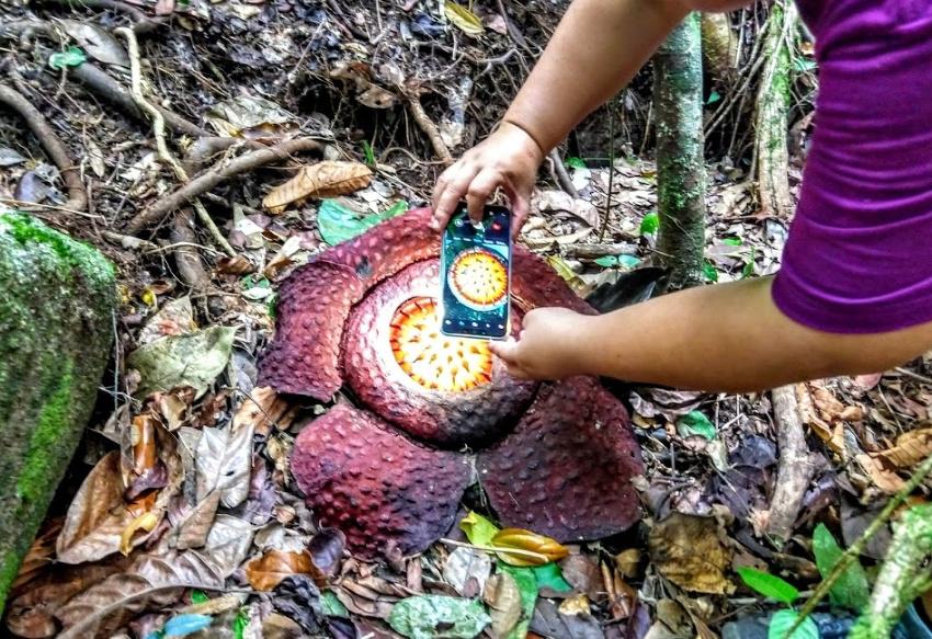 See giant rafflesia flowers from Kuching