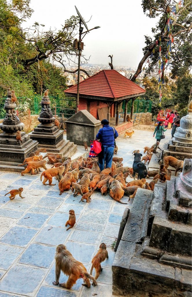 Feeding the Monkeys at the monkey temple at swayambhunath kathmandu Nepal