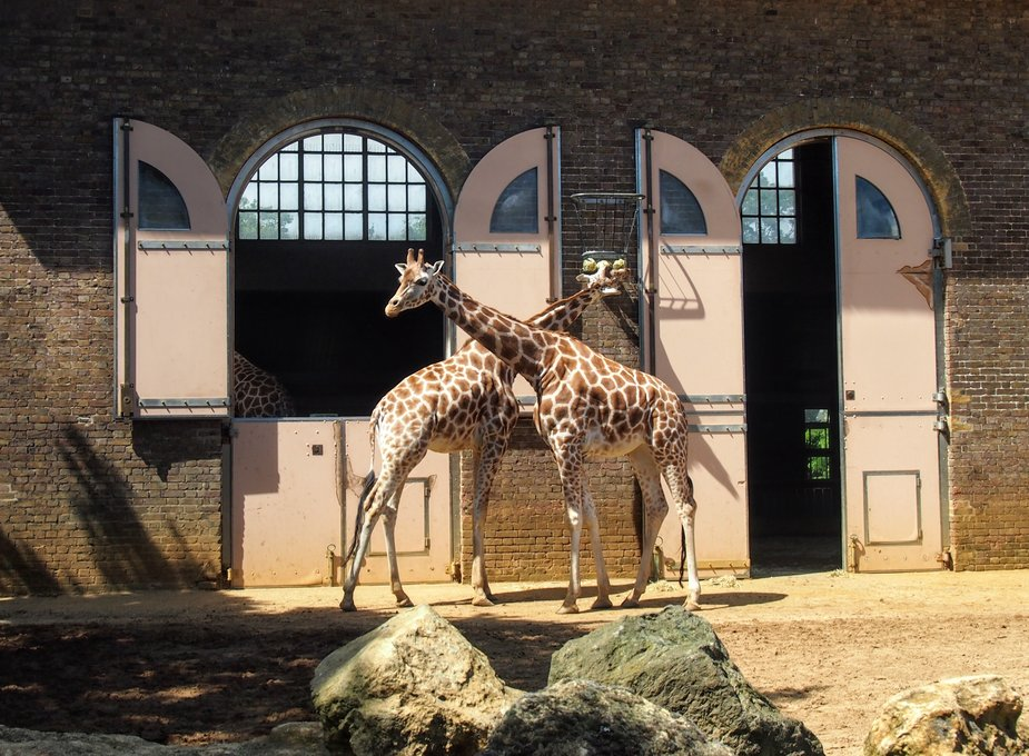londoin zoo the historic giraffe house