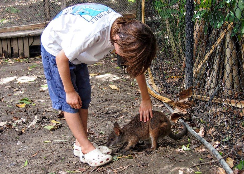 wildlife habitat port douglas child petting wallaby