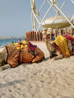 Is Dubai in Asia camels on th beach with man in Arab dress Dubai, Asia