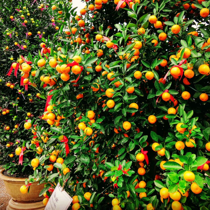Kumquats Tet Vietnam