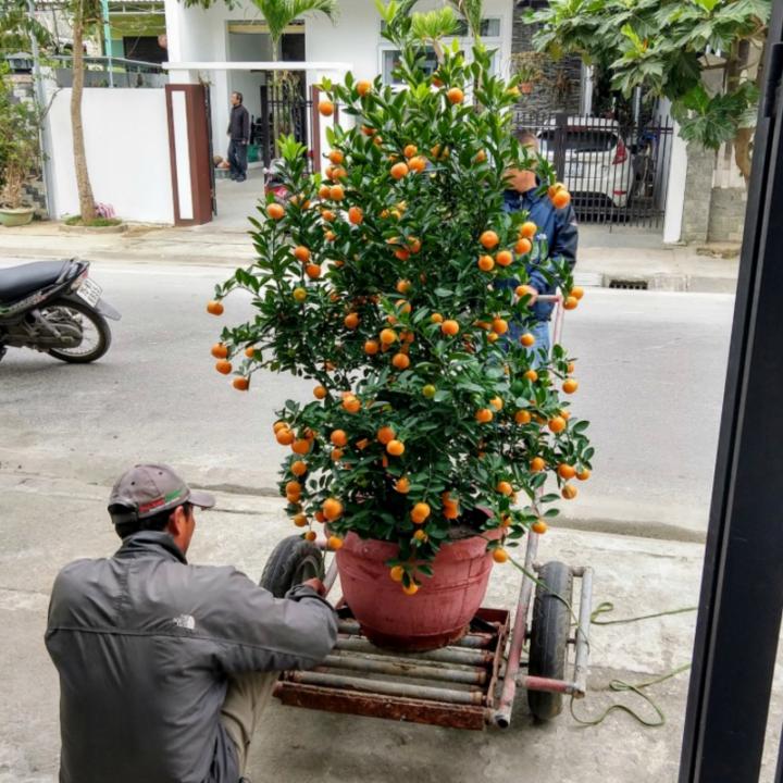 kumquat tree tet