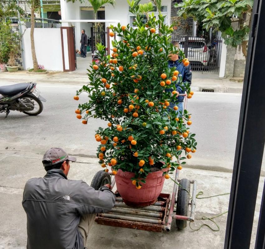 arbre kumquat tet