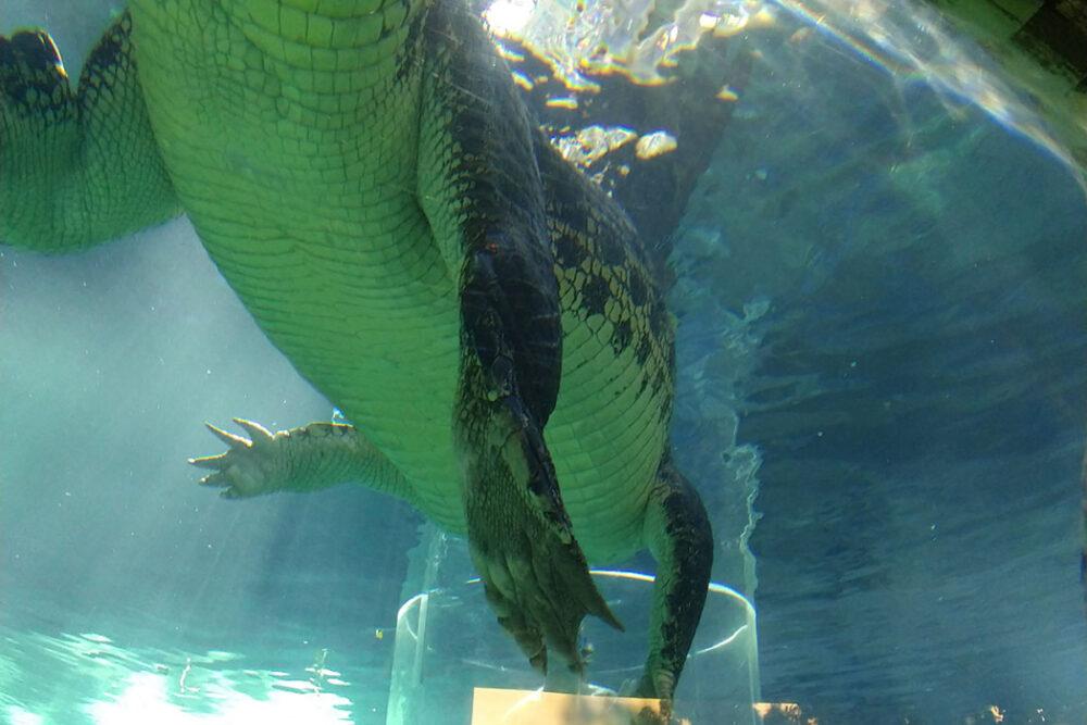 australian crocodile can you eat crocodile