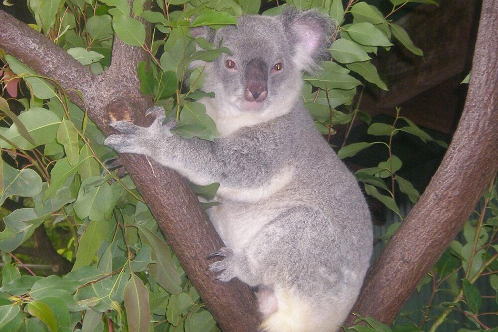 australian koala can you eat koala bear