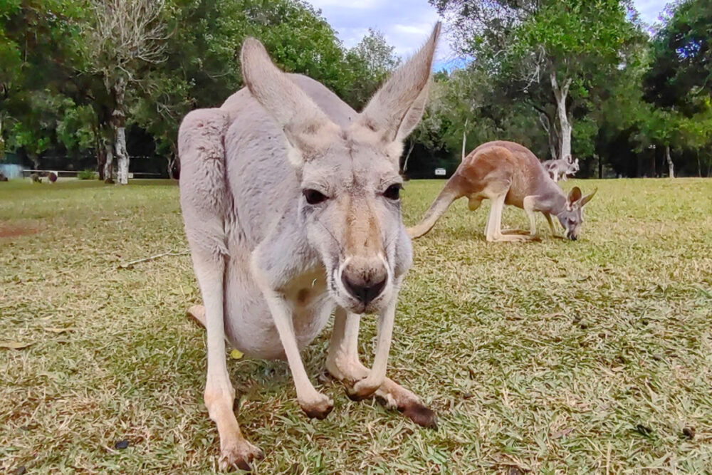 kangaroo can you eat kangaroo